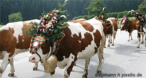Cows with festive ornaments for the Almabtrieb in Schwarzenberg, Bregenzerwald