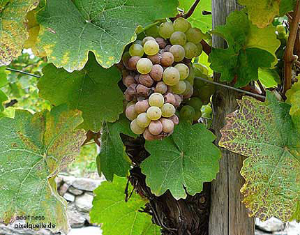Grapes in the Wachau region, another UNESCO World Cultural Heritage Site